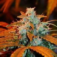 Auto Blueberry Feminised Cannabis Seeds