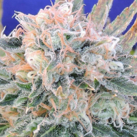 Auto Blueberry Ghost OG Feminised Cannabis Seeds | Original Sensible Seeds