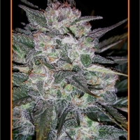 Auto Blues Auto Feminised Cannabis Seeds