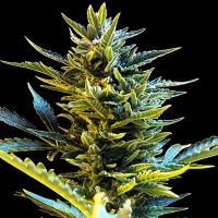Auto Bride Cake Feminised Cannabis Seeds | G13 Labs