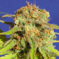 Auto Bruce Banner #3 Feminised Cannabis Seeds | Original Sensible Seeds