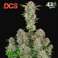 Bruce Banner Auto Feminised Cannabis Seeds | Fast Buds