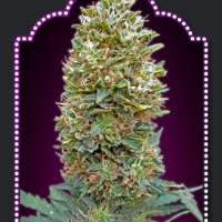 Auto Bubblegum Feminised Cannabis Seeds | OO Seeds
