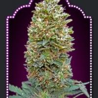 Auto Bubblegum Feminised Cannabis Seeds | OO Seeds