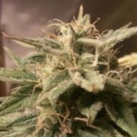 Buy Female Seeds Auto Bubble Feminised Cannabis Seeds