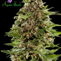 Auto Bubblegum Feminised Cannabis Seeds - Anesia Seeds
