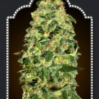 Auto California Kush Feminised Cannabis Seeds | OO Seeds