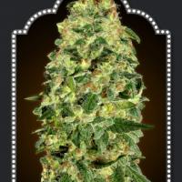 Auto California Kush Feminised Cannabis Seeds | OO Seeds