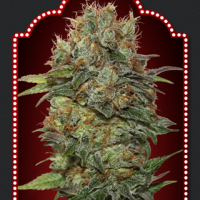 Auto Chocolate Kush Feminised Cannabis Seeds | OO Seeds
