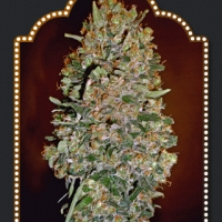 Auto Chocolate Skunk Feminised Cannabis Seeds | OO Seeds
