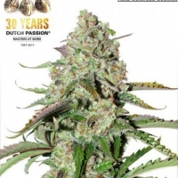Auto Colorado Cookies Autoflowering Feminised Cannabis Seeds | Dutch Passion