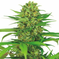 Auto Cream Bubblegum Feminised Cannabis Seeds | Dispensario Seeds