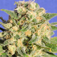 Auto Destroyer Feminised Cannabis Seeds   Original Sensible Seeds