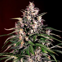 Auto Dosi Feminised Cannabis Seeds | G13 Labs