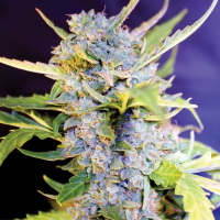 Fro-Yo Auto Feminised Cannabis Seeds   G13 Labs