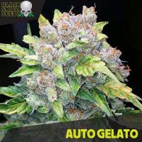 Auto Gelato Feminised Cannabis Seeds | Black Skull Seeds