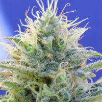 Auto Ghost OG Feminised Cannabis Seeds   Original Sensible Seeds