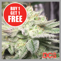 Auto Gorilla Glue Cannabis Seeds | Discount Cannabis Seeds