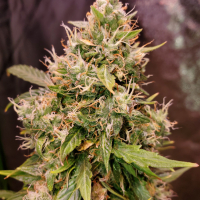 Auto Gucci Dreams Feminised Cannabis Seeds | Top Shelf Elite