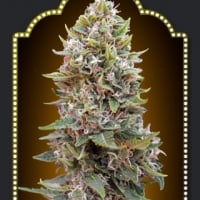 Auto Hashchis Berry Feminised Cannabis Seeds (Formerly Auto Cheese Berry) | OO Seeds