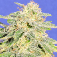 Auto JH Feminised Cannabis Seeds   Original Sensible Seeds