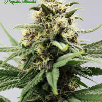 Auto Lemongrass Feminised Cannabis Seeds - Anesia Seeds