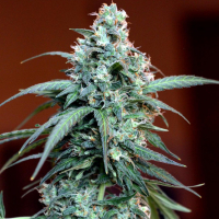 Auto Massassin Feminsed Cannabis Seeds | Critical Mass Collective Seeds