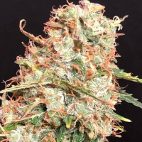Auto Masszar Feminsed Cannabis Seeds | Critical Mass Collective Seeds