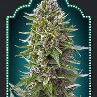 Auto Northern Lights Feminised Cannabis Seeds | OO Seeds