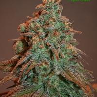 Auto Nova OG Feminised Cannabis Seeds - Anesia Seeds