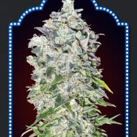 Auto OO Kush Feminised Cannabis Seeds | OO Seeds