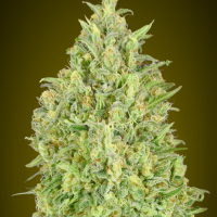 Auto Pineapple Glue Feminised Cannabis Seeds | Advanced Seeds