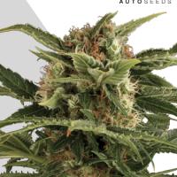 Auto Pounder Autoflowering Feminised Cannabis Seeds   Auto Seeds