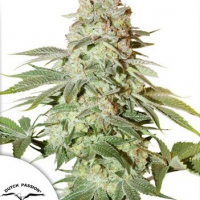 Auto Power Plant Feminised Cannabis Seeds | Dutch Passion