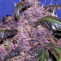 Auto Purple Feminised Cannabis Seeds   Original Sensible Seeds