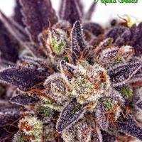 Auto Purple Domina Feminised Cannabis Seeds - Anesia Seeds