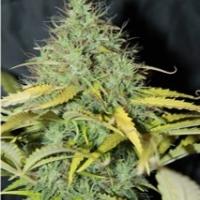 Auto Skunk #1 Feminised Cannabis Seeds | Seedsman