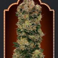 Auto Sweet Soma Feminised Cannabis Seeds | OO Seeds