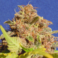 Auto Wedding Cake Feminised Cannabis Seeds | Original Sensible Seeds