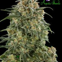 Auto Wonder Feminised Cannabis Seeds - Anesia Seeds