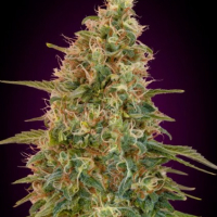 Auto Zkittlez Feminised Cannabis Seeds | Advanced Seeds
