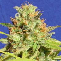 Auto Zkittlez Feminised Cannabis Seeds | Original Sensible Seeds