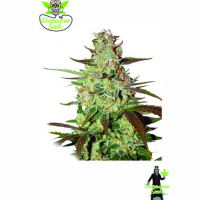 Auto Blueberry Express Feminised Cannabis Seeds | Dispensario Seeds