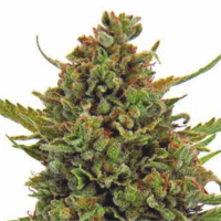 Auto Clinical Mass Feminised Cannabis Seeds | Dispensario Seeds