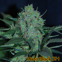 Auto Black JH Feminised Cannabis Seeds | Original Sensible Seeds