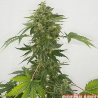 Automatic Silver Haze Feminised Cannabis Seeds | GreenLabel Seeds