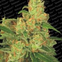 Auto Acid Feminised Cannabis Seeds | Paradise Seeds