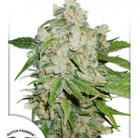 Auto Brooklyn Sunrise Autoflowering Feminised Cannabis Seeds | Dutch Passion