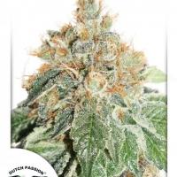 Auto Daiquiri Lime Feminised Cannabis Seeds | Dutch Passion