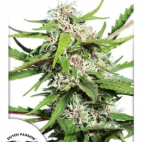Auto Frisian Dew Auto Feminised Cannabis Seeds | Dutch Passion